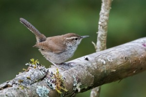 A Bewick's Wren on a dead tree in Discovery Park in Seattle during the late summer of 2014. While not a flashy bird, for some reason this photo is one of my favorites of the past year.