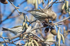 A male pine siskin forages for seeds