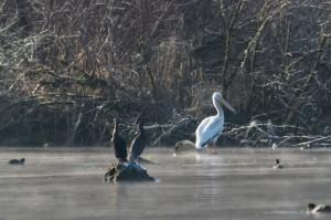American white pelican in Lake Sammamish, WA