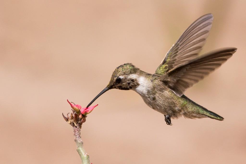 A female costa's hummingbird near the tiny tienda in the villiage of Bahia Agua Verde, B.C.S., Mexico, May 12th, 2014.