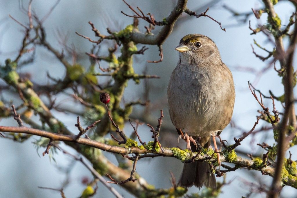 Golden crowned sparrow in the sun