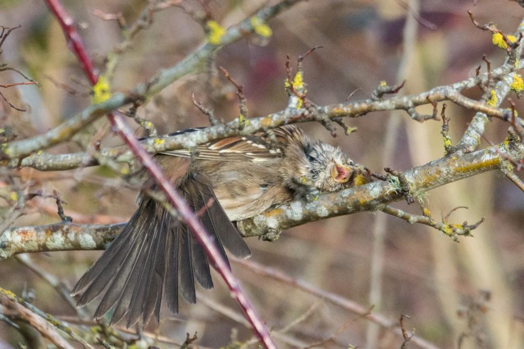 Golden crowned sparrow scraaaaatch