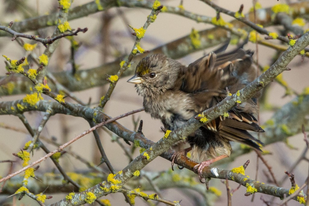 Golden crowned sparrow fluff