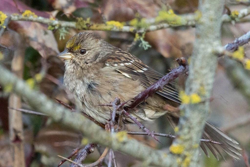Golden crowned sparrow closeup