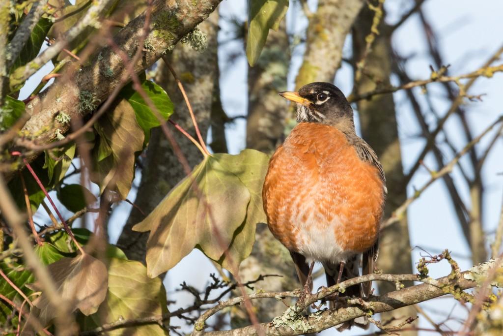 American robin in the sun