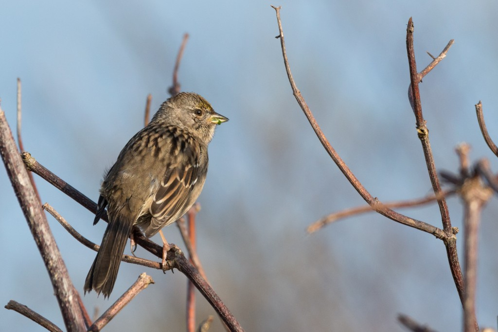 Golden crowned sparrow in the sun #2