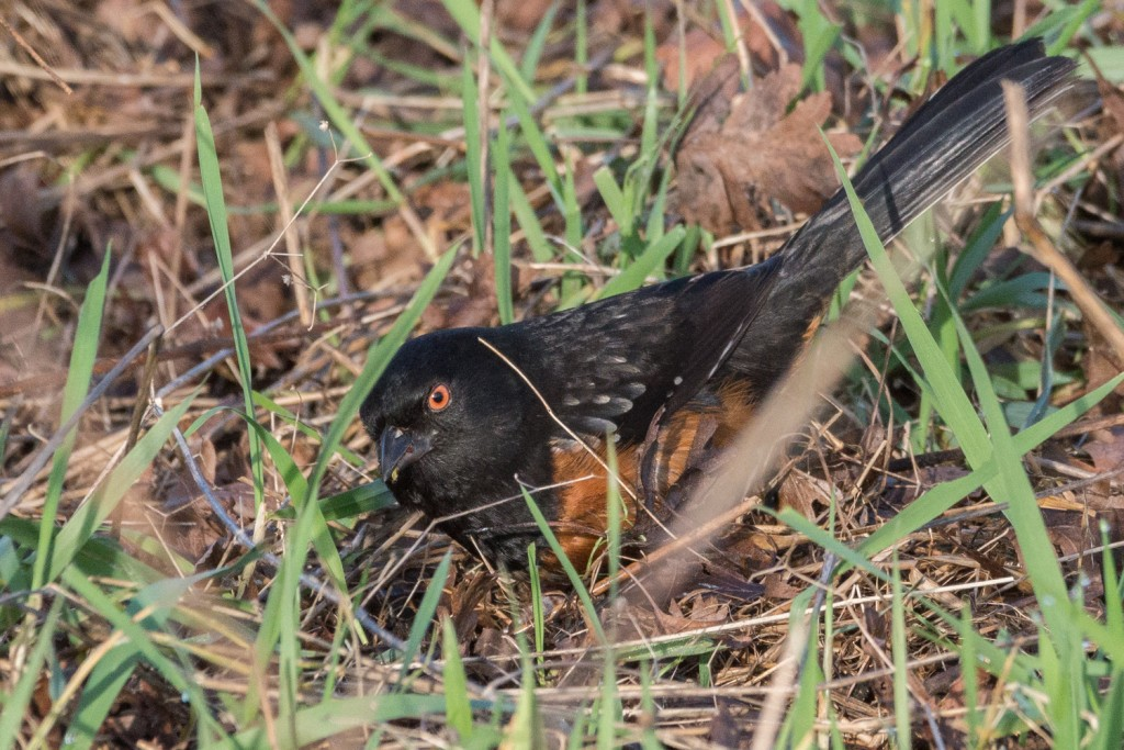 Spotted towhee foraging