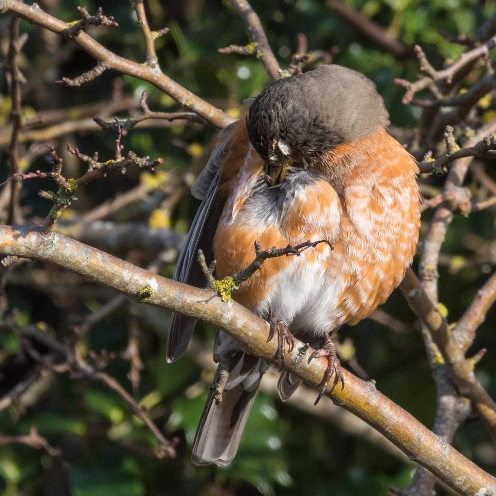 American robin preening #2