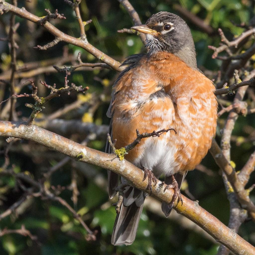 American robin preening #3