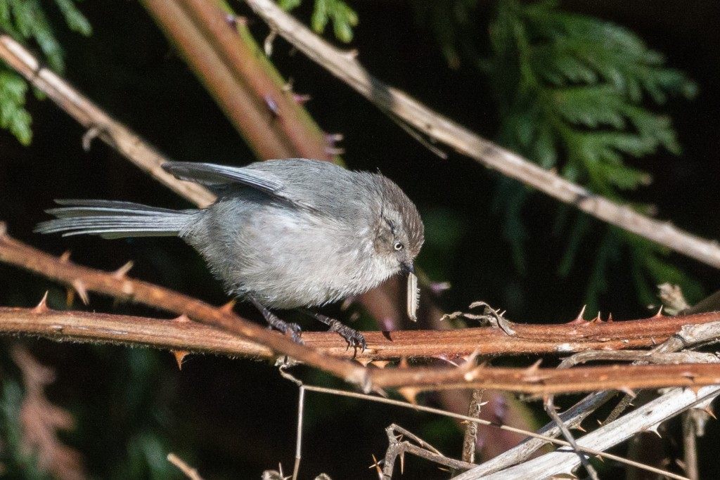 Bushtit with a caterpillar
