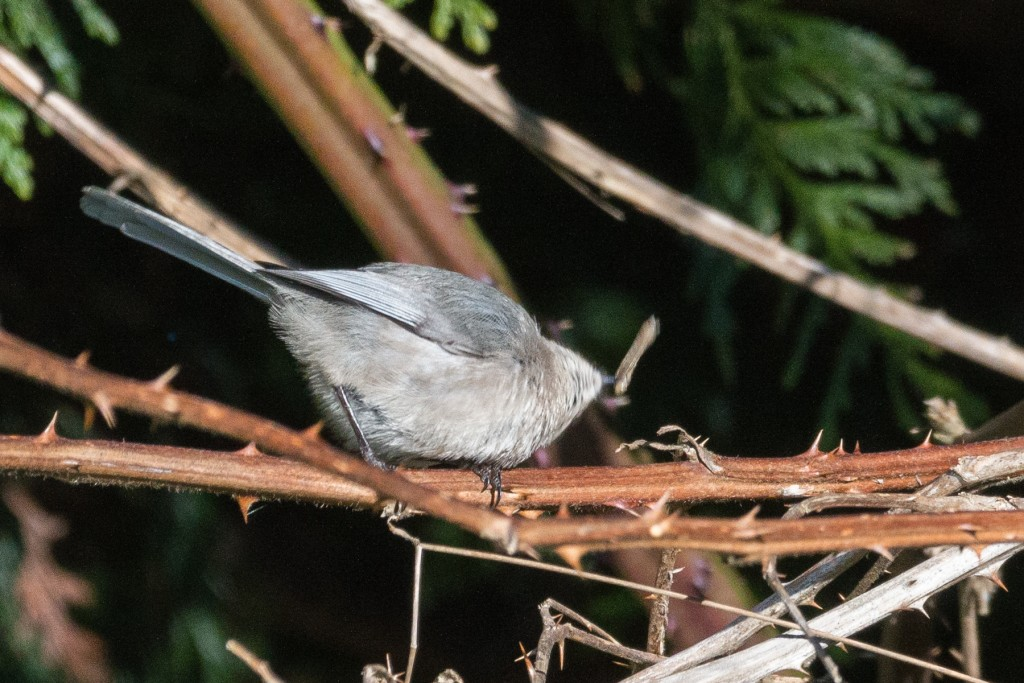 Bushtit smacking caterpillar on the branch