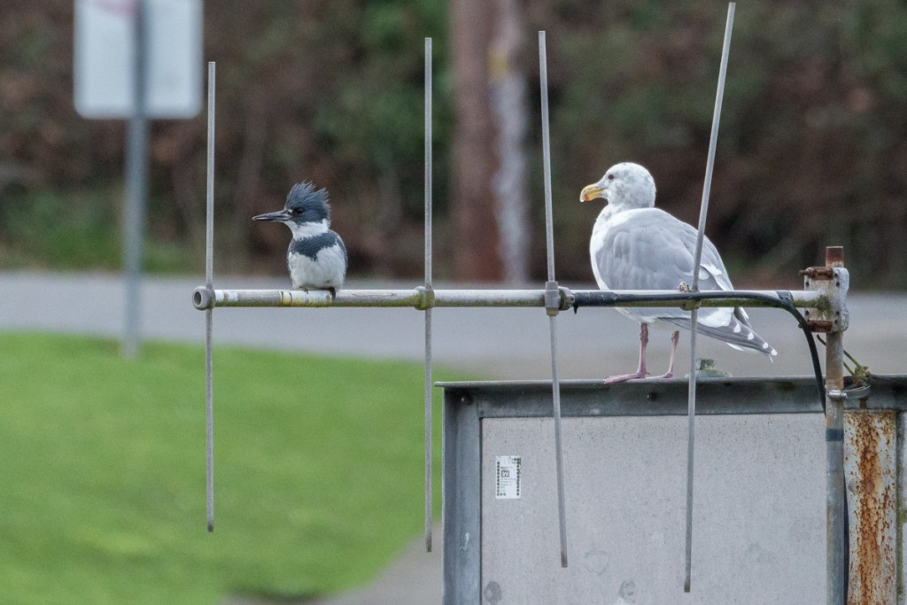 Belted Kingfisher and gull