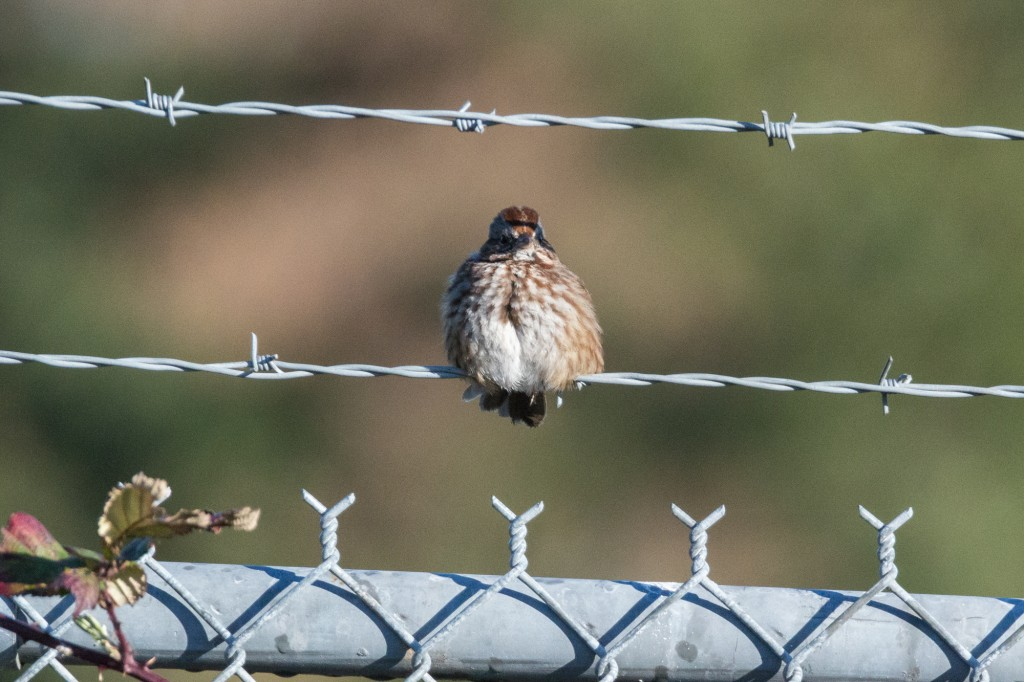 Song sparrow on barbed wire