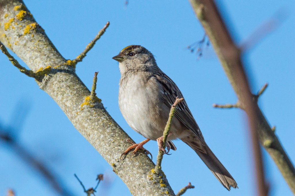 Golden-crowned sparrow in a tree