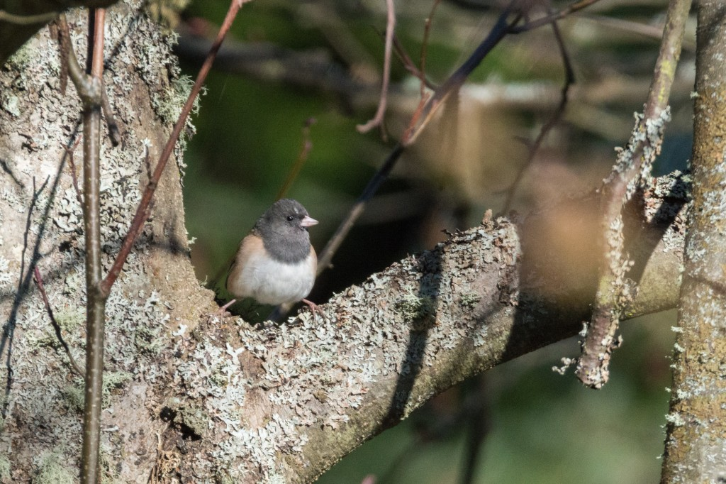 Dark-eyed junco in the crook of a tree