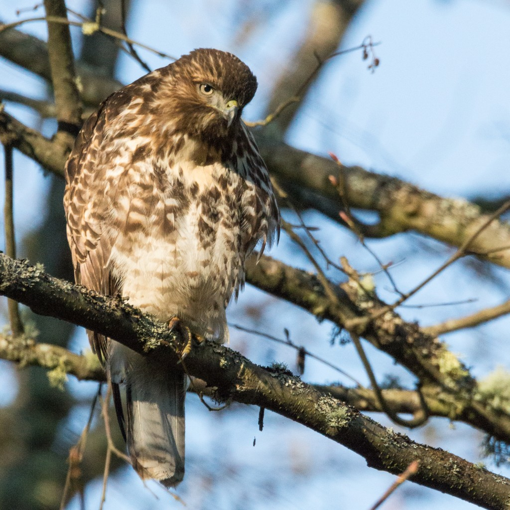 Red-tailed Hawk (juvenile, probably female)