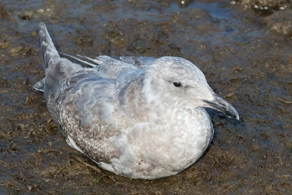 Glaucous-winged gull (second winter)
