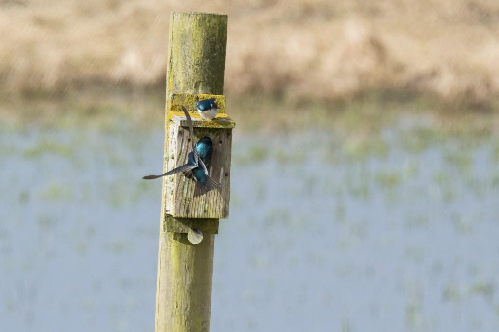 Tree swallows at a nest box #2