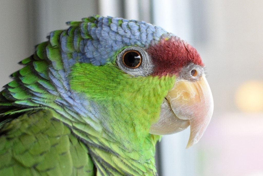 Auri is my ~8 year old lilac-crowned amazon