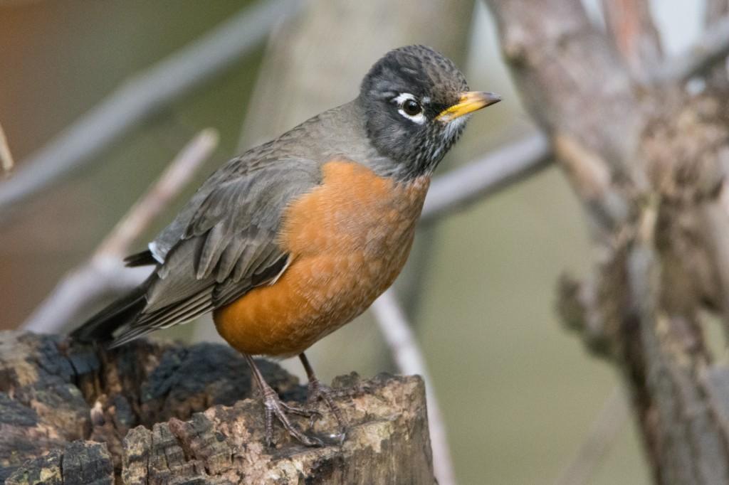 High-ISO Robin