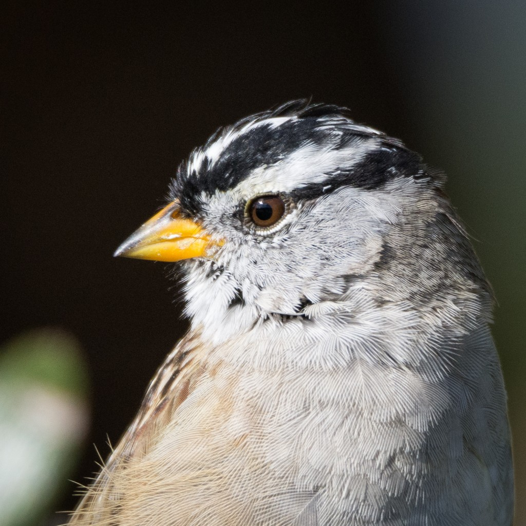 White-crowned sparrow portrait