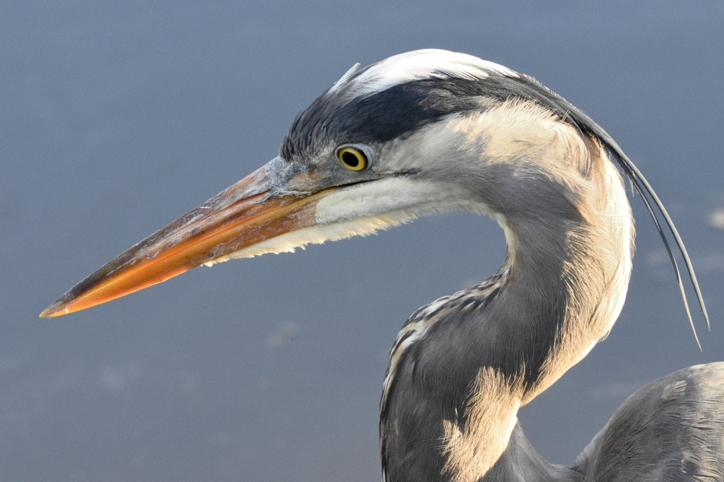 Great blue heron headshot