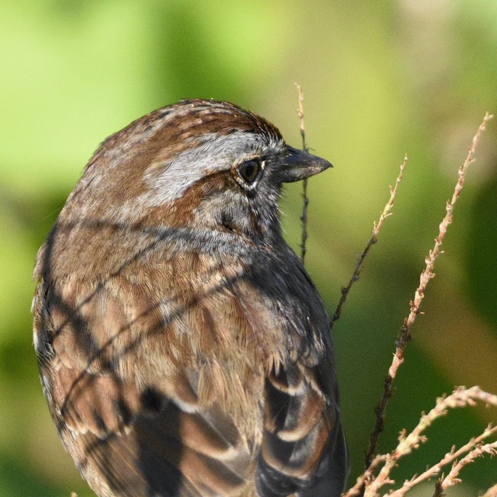 Song sparrow close-up