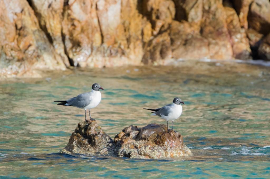Laughing gulls at Norman Island