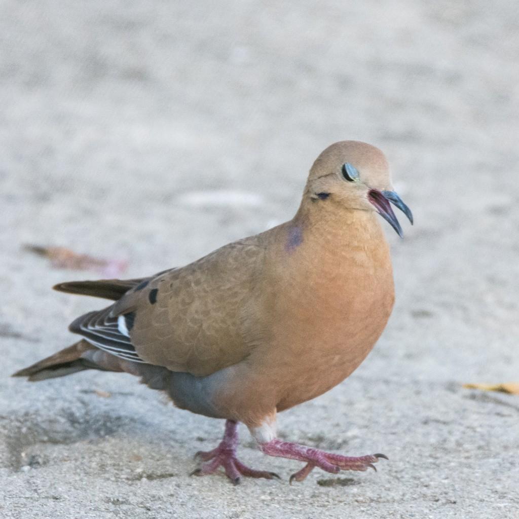 Eared dove yawning