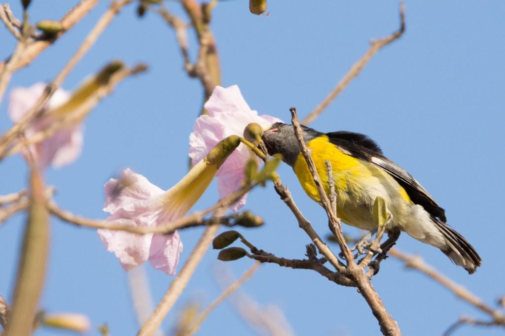 Bananaquit drinking nectar