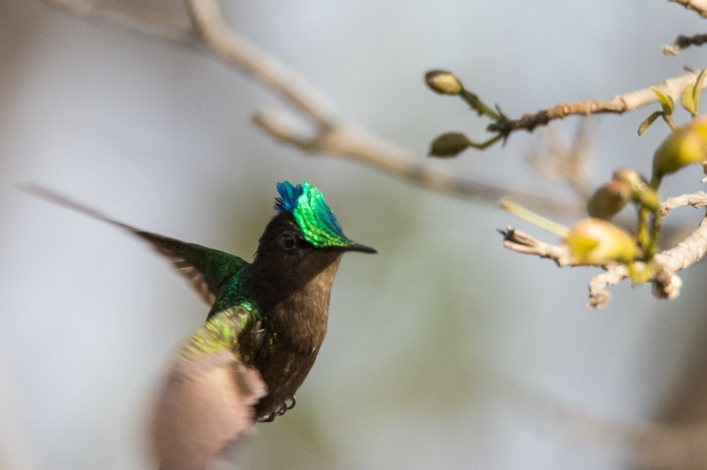 Antillean crested hummingbird in-flight