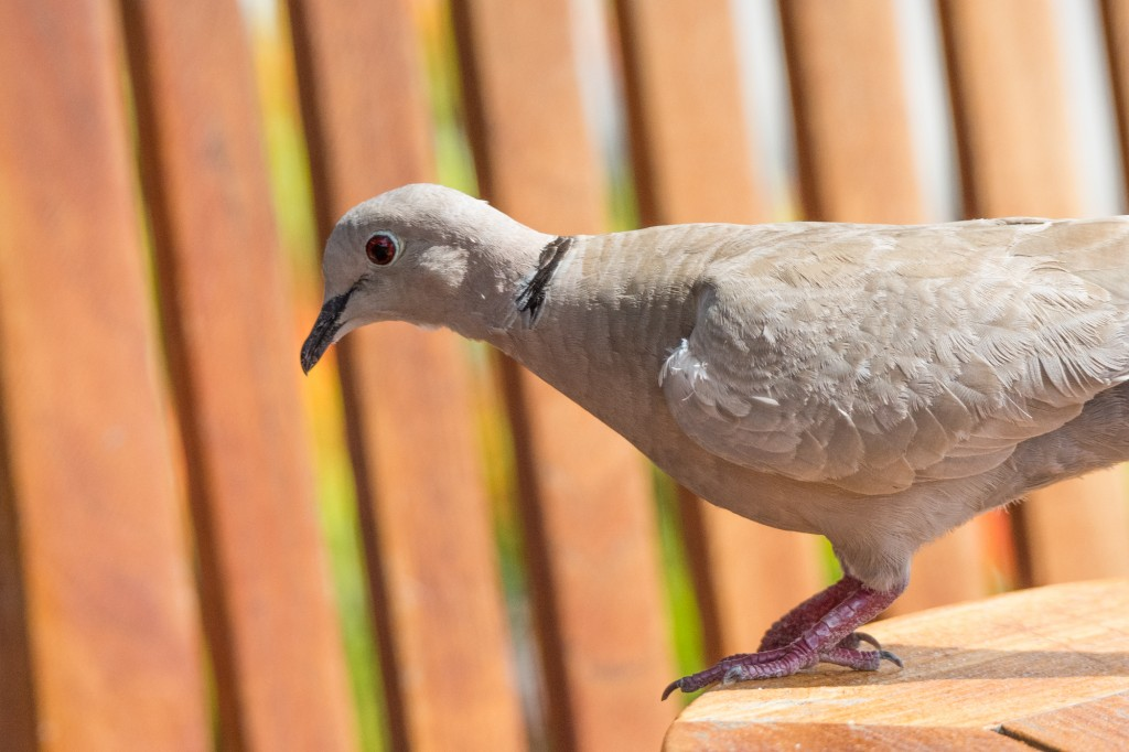 Ring-necked dove at The Crawl Pub