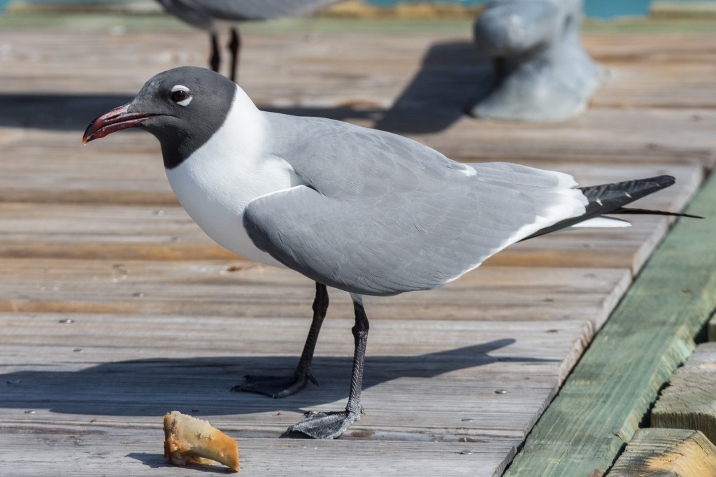 Laughing gull with a stolen scrap