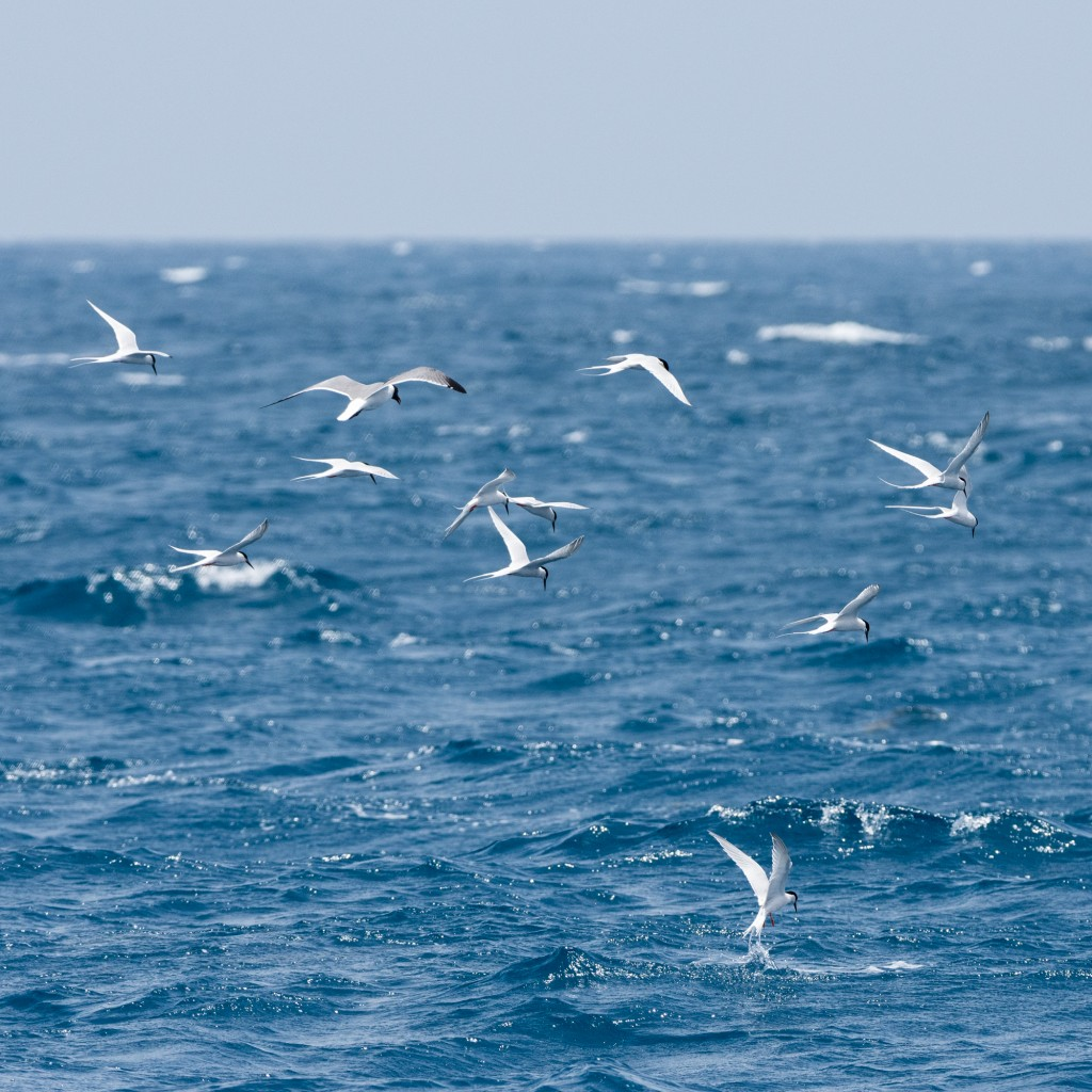 Terns and a gull