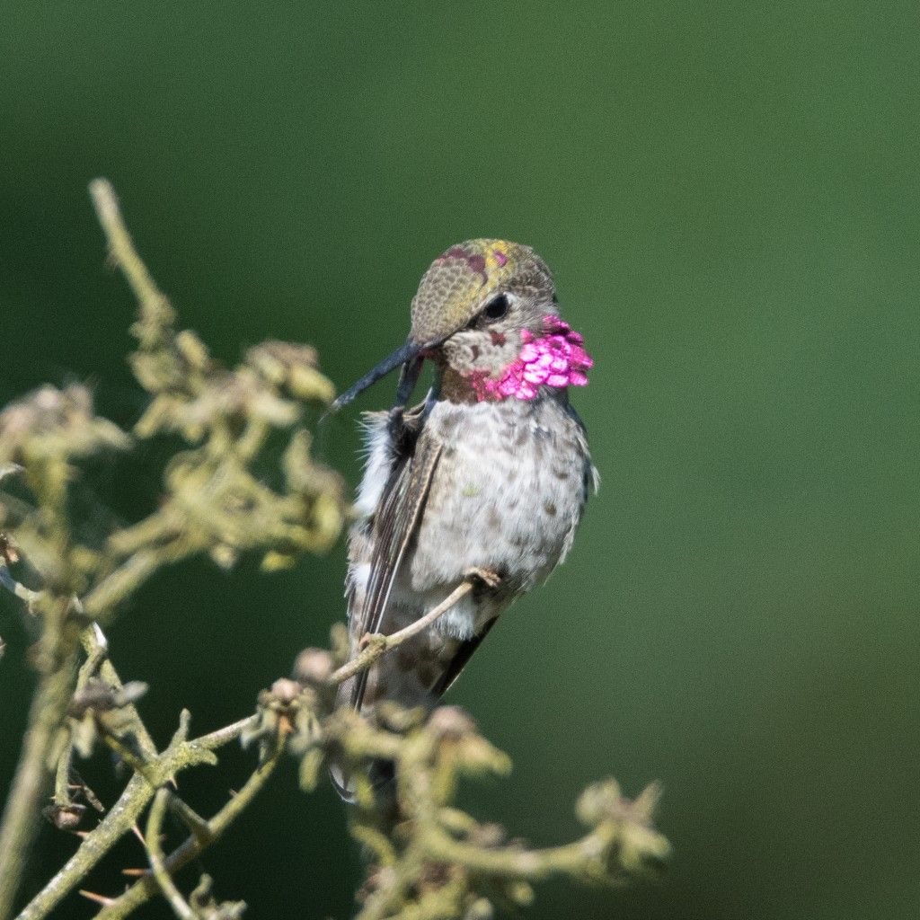 Young male Anna's hummingbird scratching his face