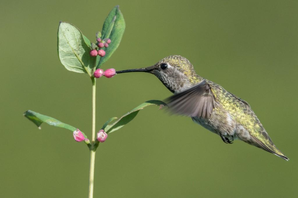 Adult female Anna's hummingbird