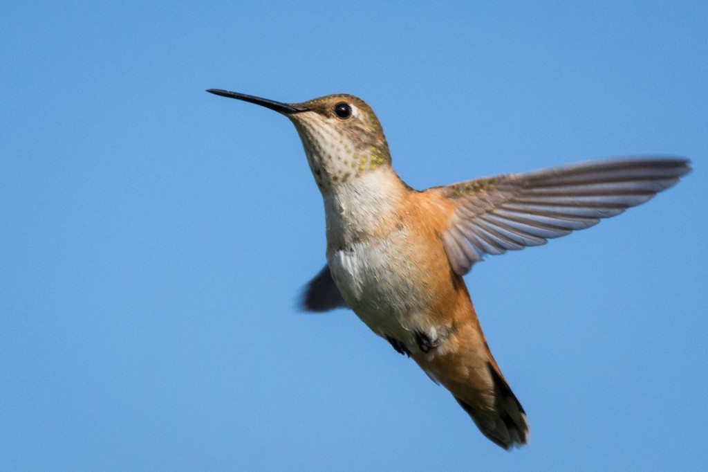 Young female rufous hummingbird