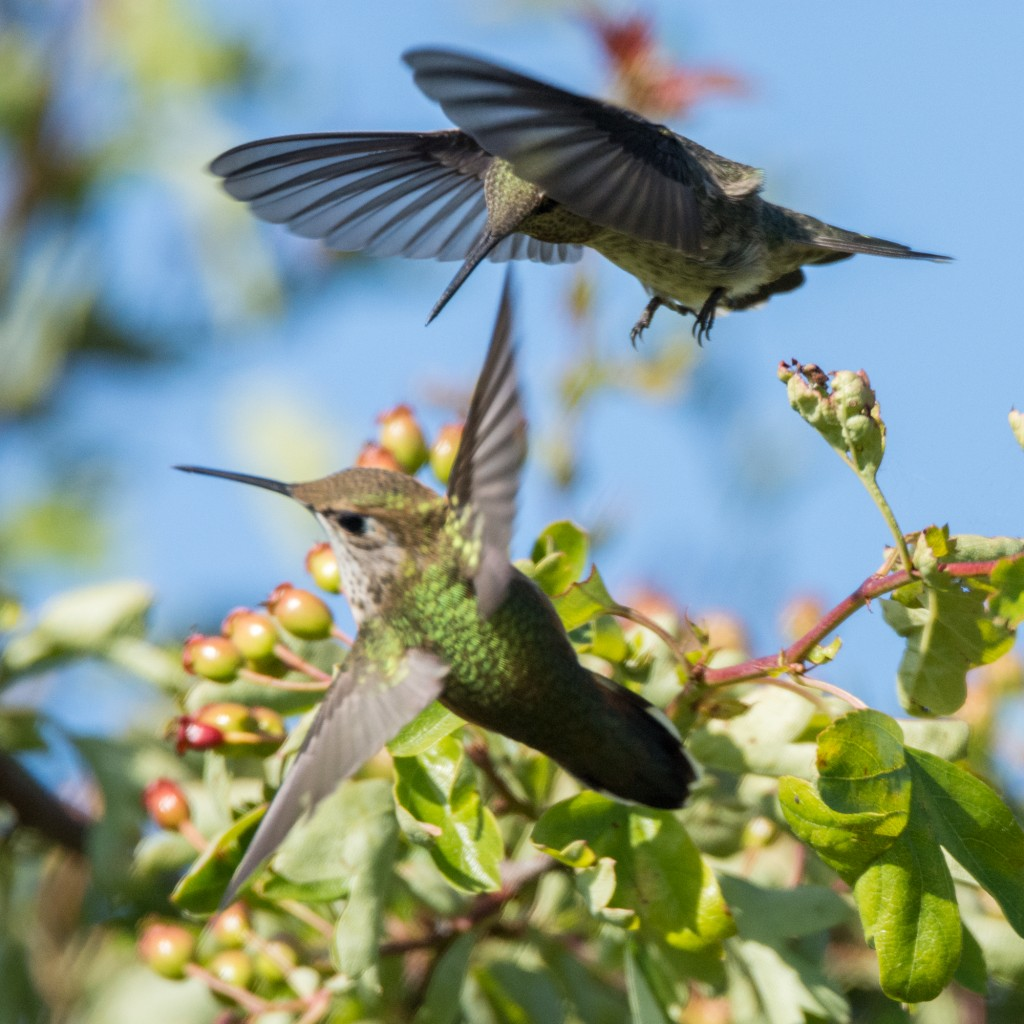 Aerial dogfight between two female Anna's hummingbirds