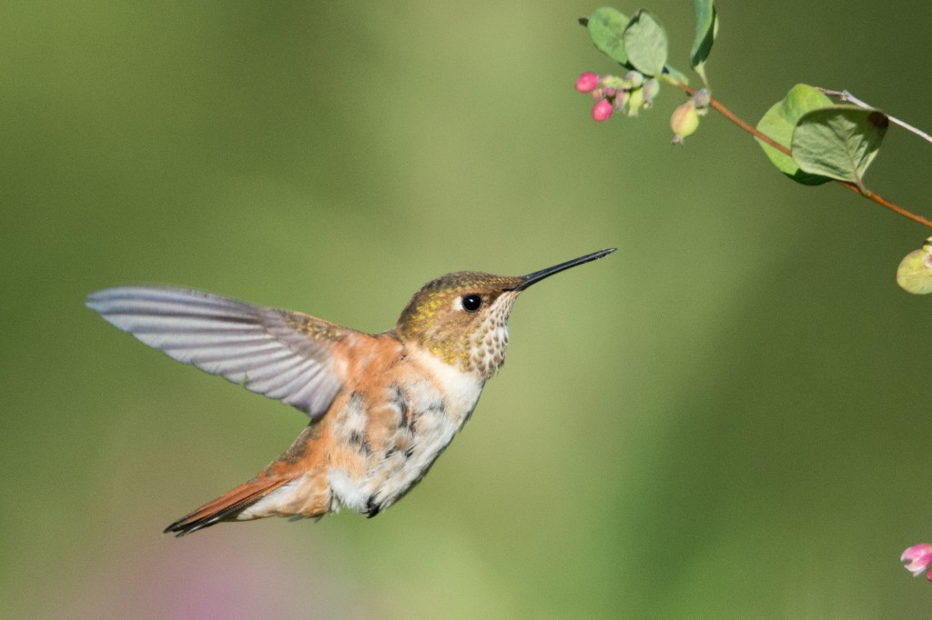 Adult female rufous hummingbird