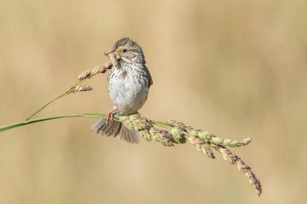 Savannah sparrow with a meal