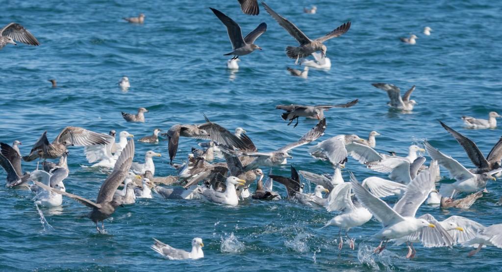 A noisy crowd of seabirds at a bait ball