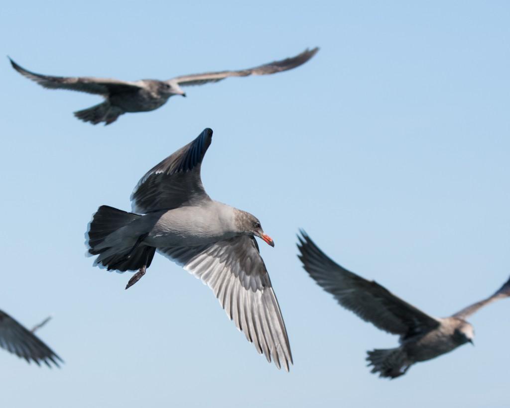 Heermann's Gull in non-breeding plumage