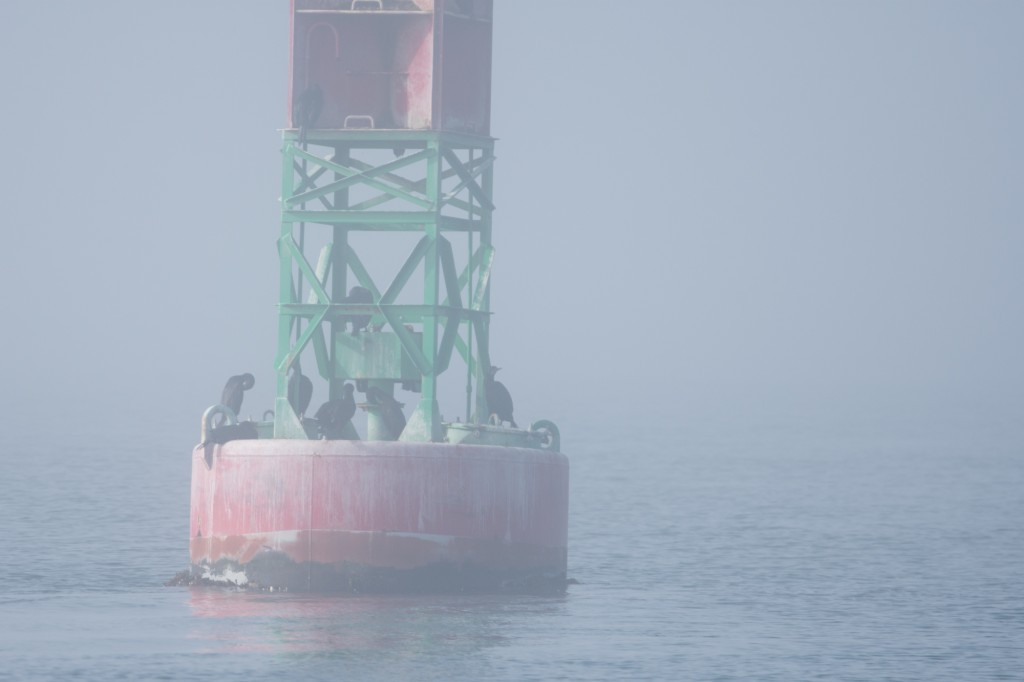 Our companions in the fog, a group of double-crested cormorants