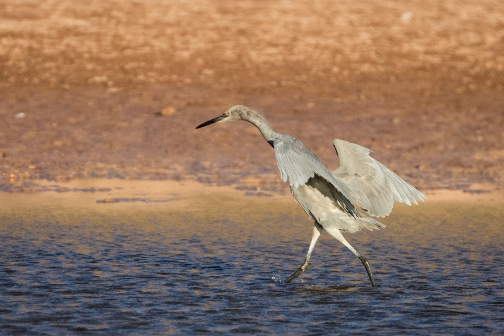 A juvenile Reddish Egret hunting for fish in the shallow pond on the beach