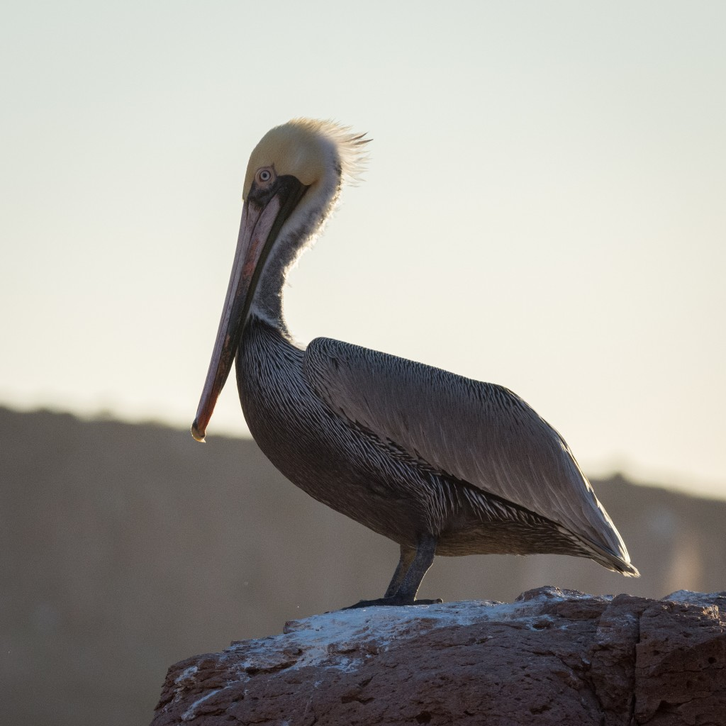 Brown pelican in the evening sun