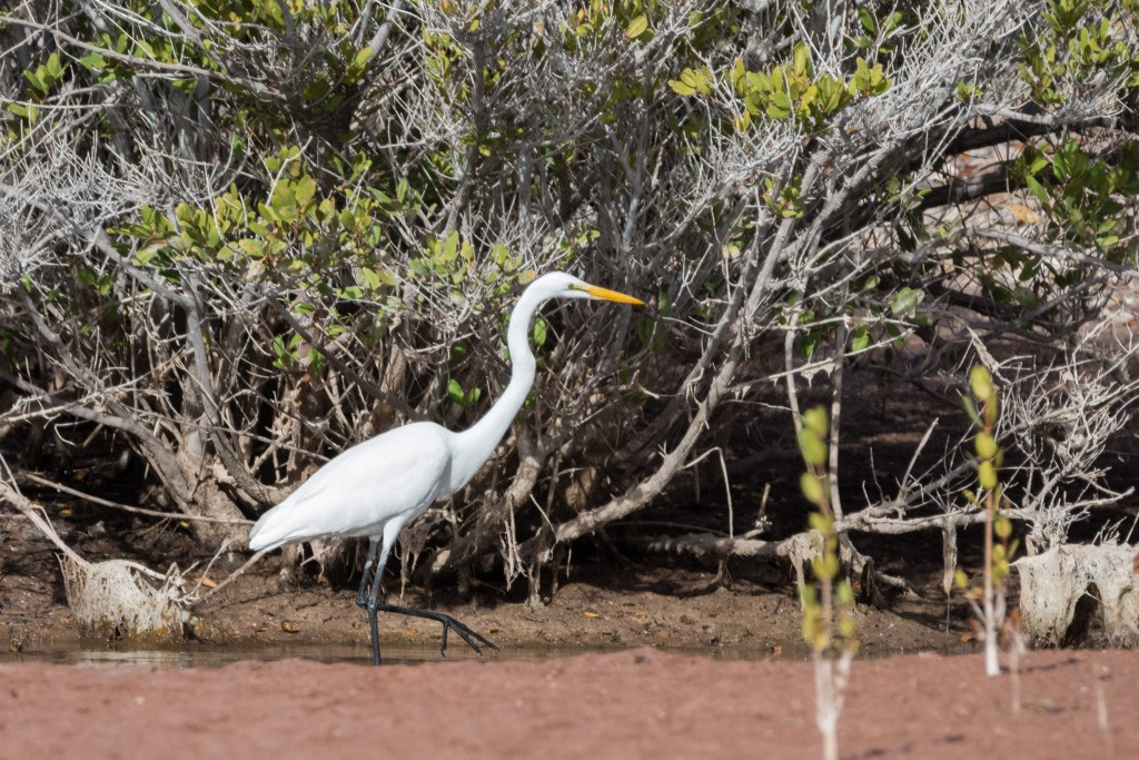 Snowy egret stalking fish in the shallow pond