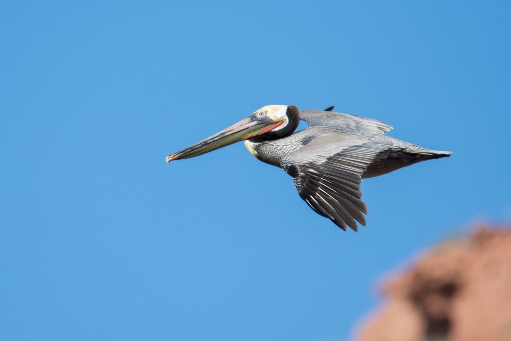 Brown pelican flying over the beach